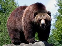 kraftdyr bjørn